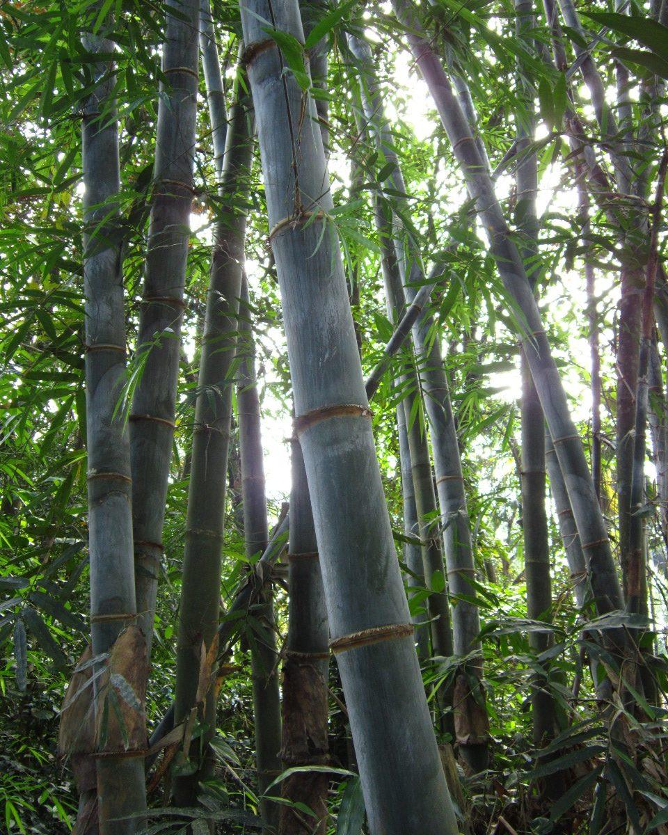 Bamboo grove in Kerala, India