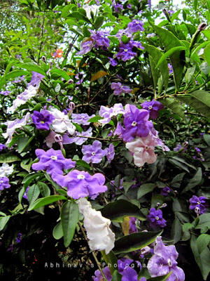Brunfelsia plant with flowers