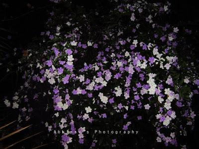 Brunfelsia flowers at night