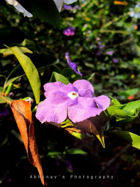 brunfelsia flower - lavender/lilac color