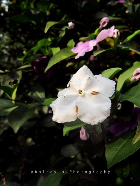 brunfelsia flower - white color