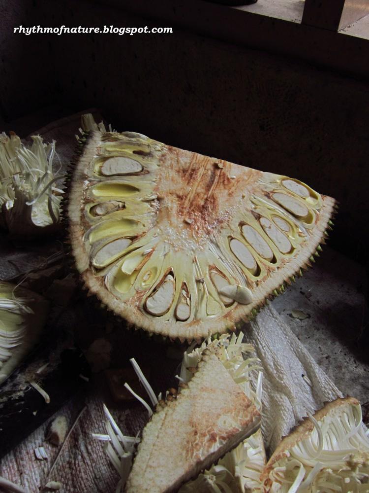 jackfruit when cut
