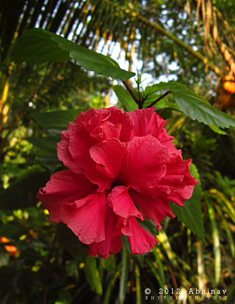 Hibiscus Double Flower