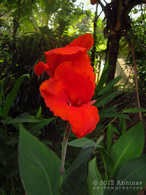 Indian Shot Flower (Canna indica)