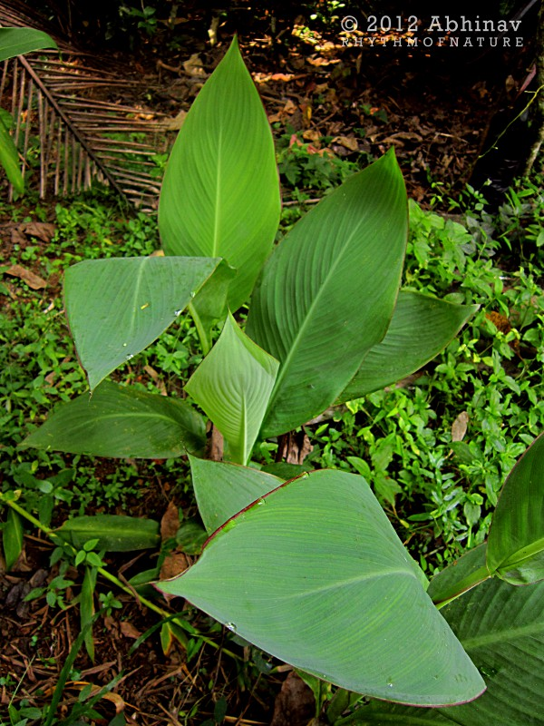 Leaves of Canna Indica