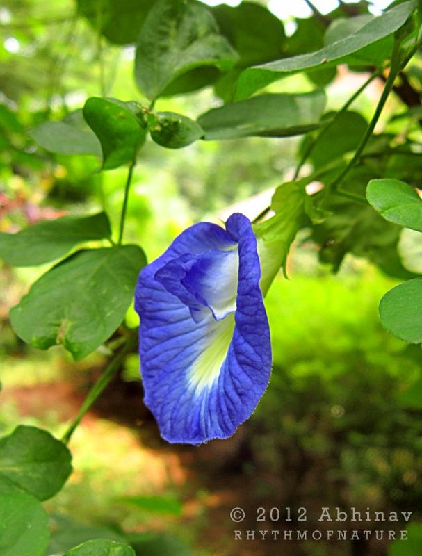 Sankhupushpam flower