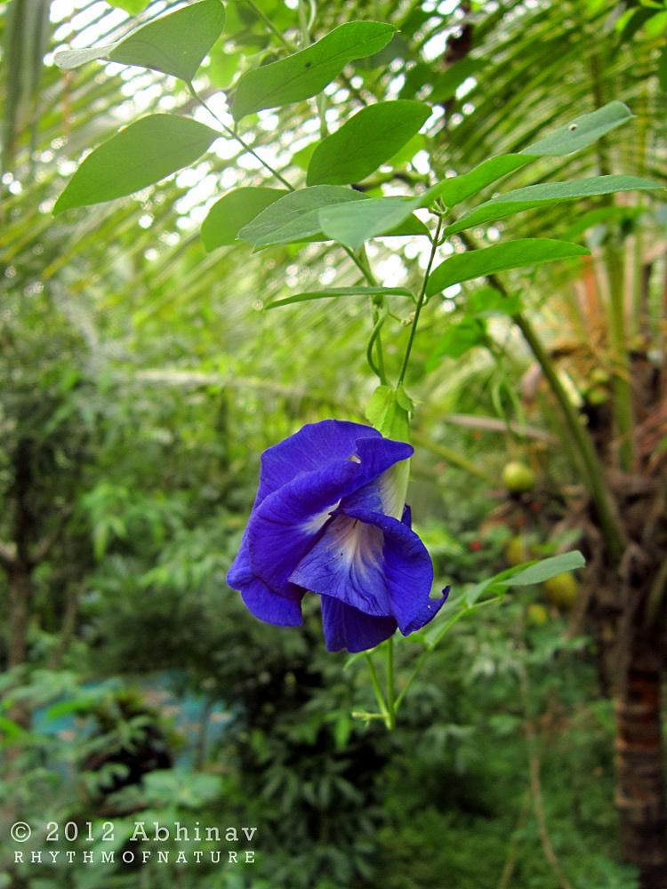 Double-flowered Clitoria ternatea / Sankhupushpam