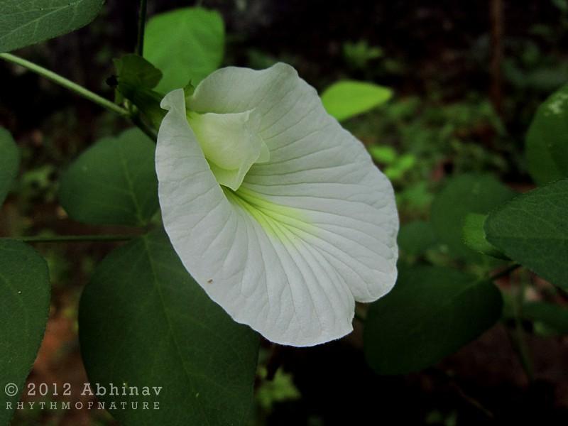 White Clitoria ternatea flower