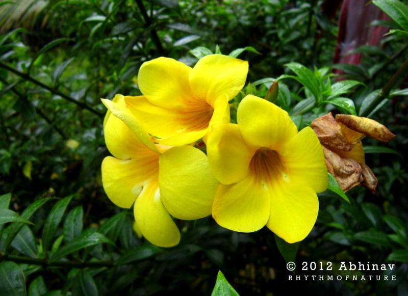 Kolambi Flower - Golden Trumpet Vine - Allamanda cathartica