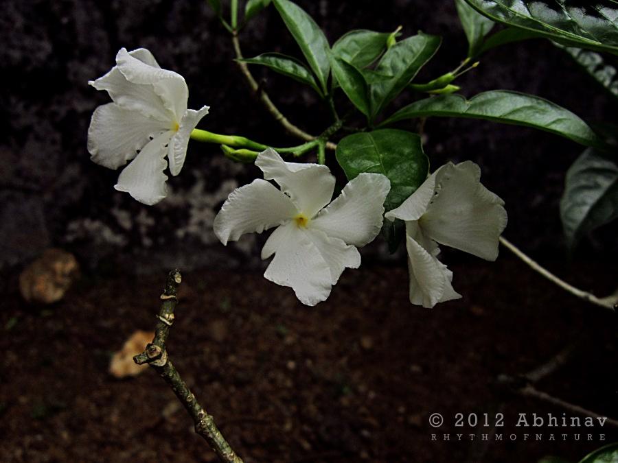 Nandyarvattam - Pinwheel flower - Crape Jasmine