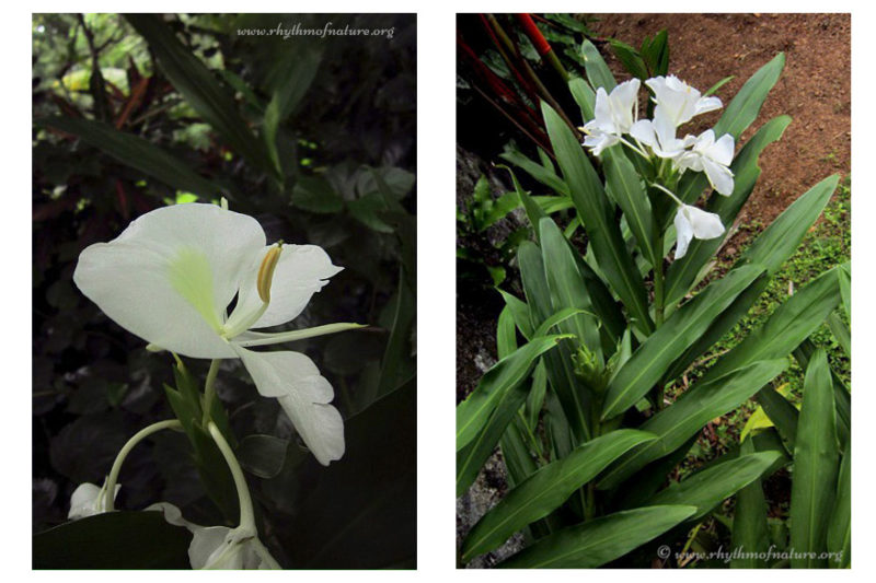 Butterfly Ginger Lily / White Ginger Lily - Kalyana Sougandhika - photo from Kerala