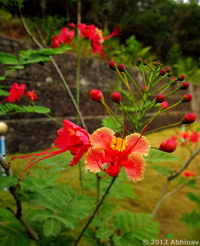 Rajamalli Flower - Pride of Barbados