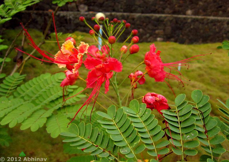 Rajamalli - Peacock Flower - Pride of Barbados