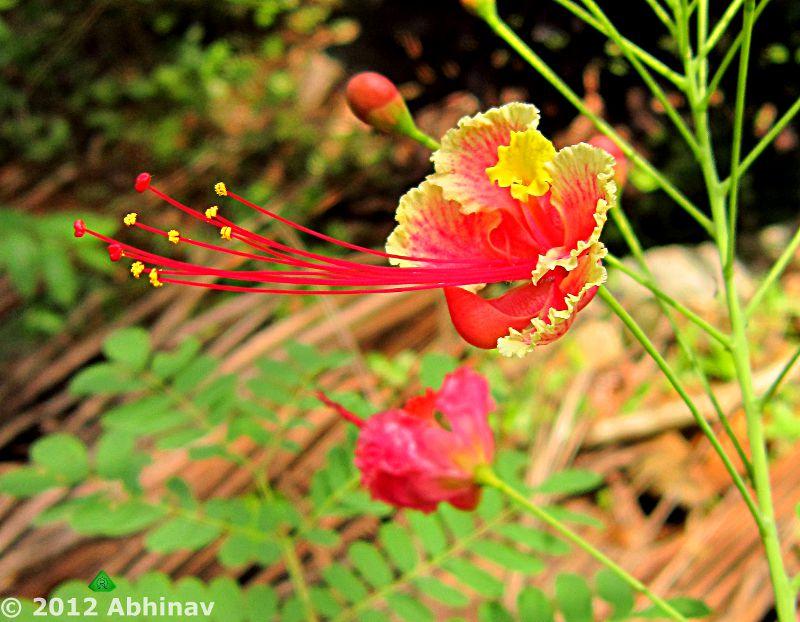 Rajamalli - Peacock Flower