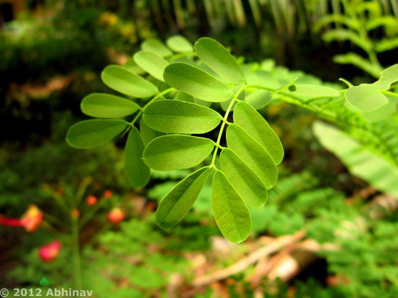 Rajamalli - Peacock Flower - Leaves