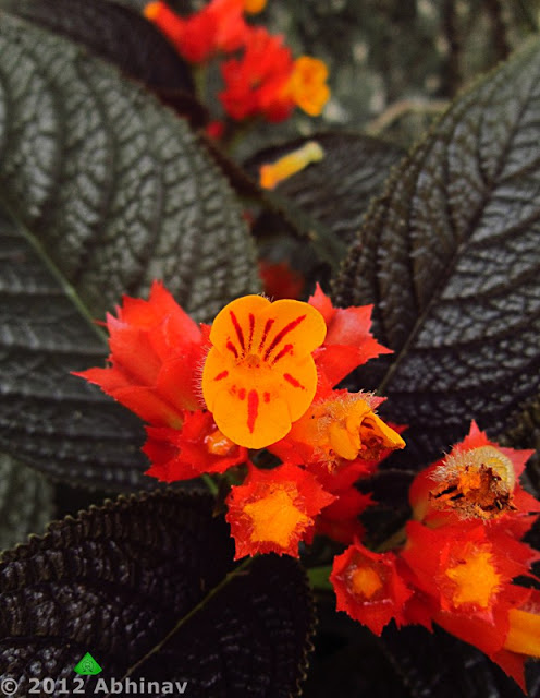 Sunset Bells (Chrysothemis pulchella)