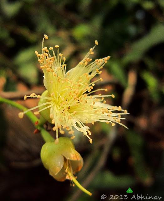 Rose Apple (Syzygium samarangense)