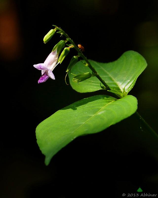 Violet Asystasia