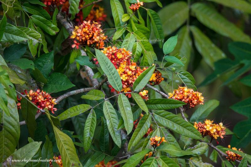 Flowers of Ashoka Tree