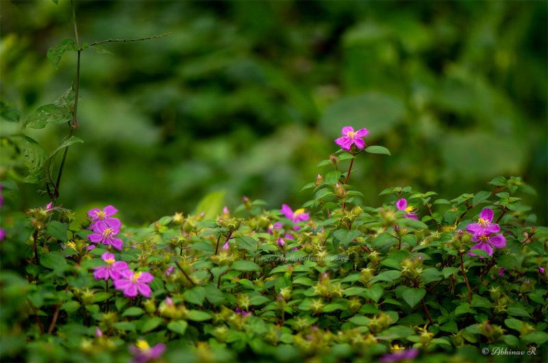 Athirani / Cherukadali flowers - Kerala