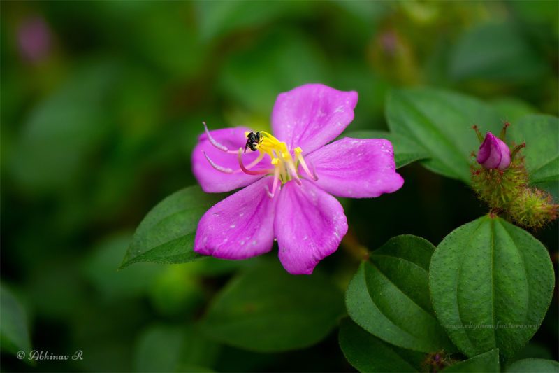 Osbeckia Flower