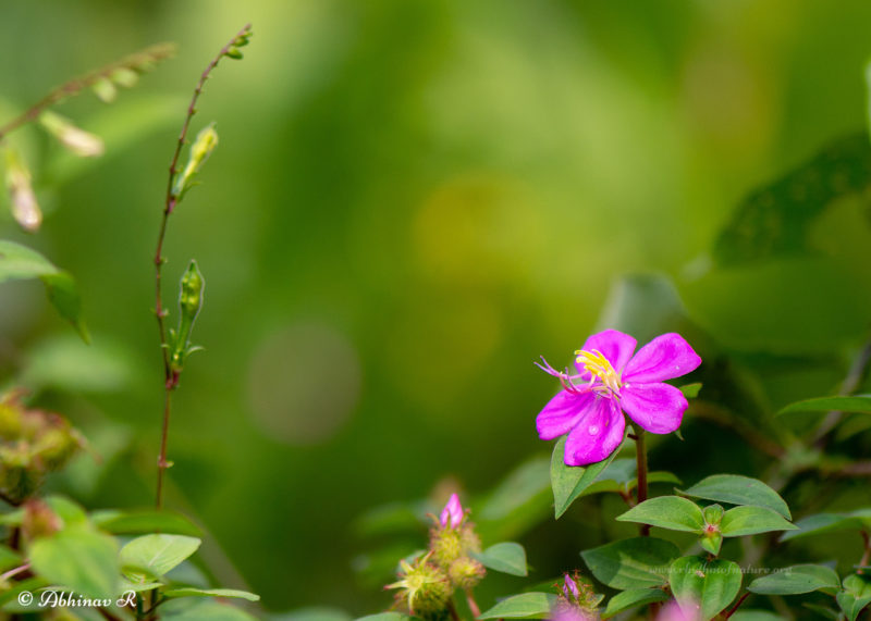 Athirani Flowers - Osbeckia parvifolia - Photo from Kerala