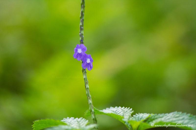 Flowers of Stachytarpheta jamaicensis