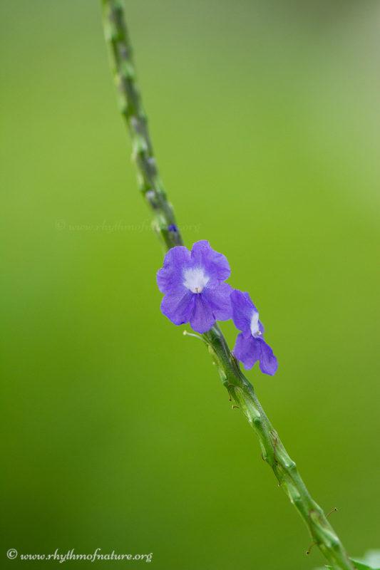 Blue Porterweed - Stachytarpheta jamaicensis