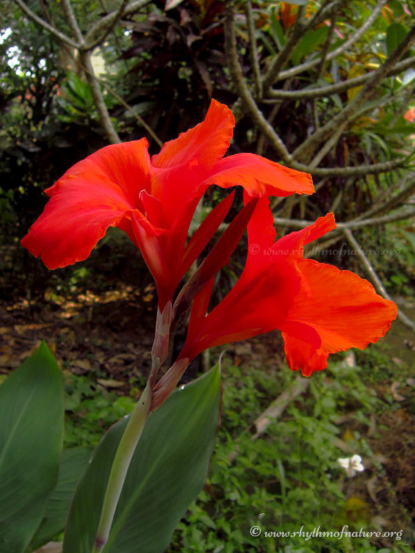 Canna Indica - Indian Shot Plant
