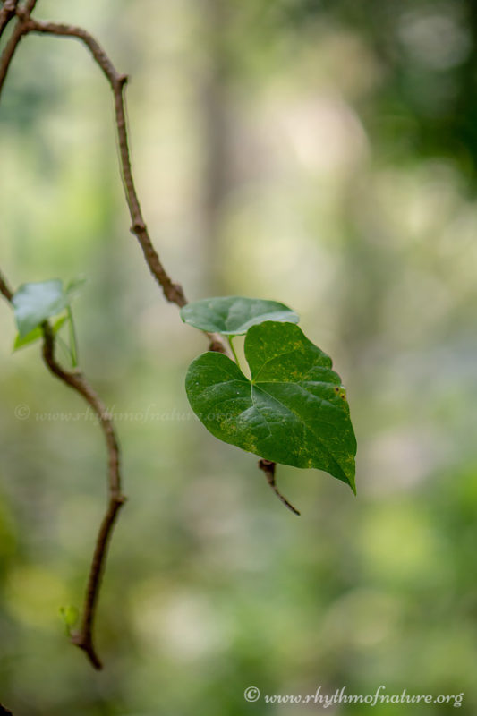 Chittamruthu or Amruthavalli Plant - Tinospora cordifolia