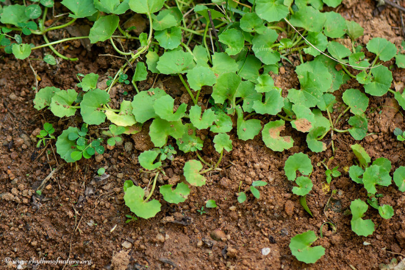 Indian Pennywort - Muthill - Centella asiatica