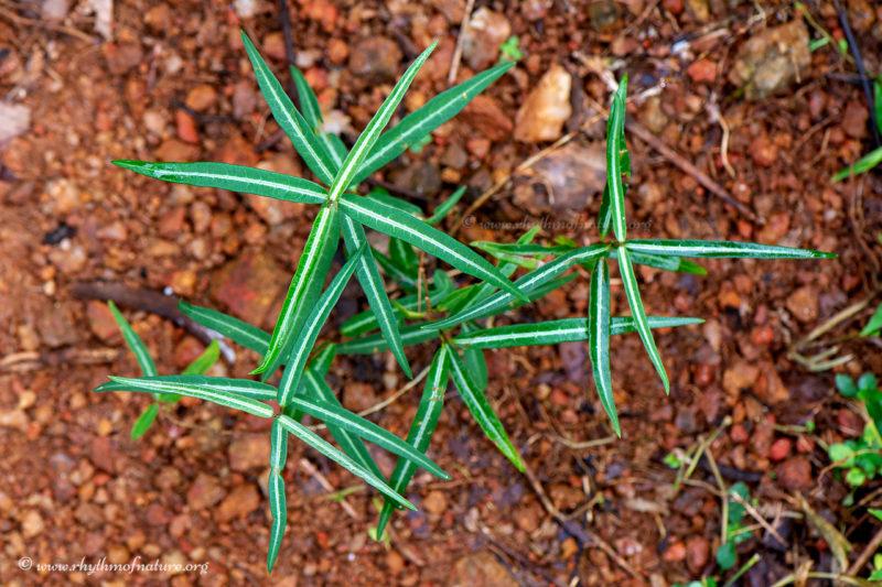 Naruneendi / Nannari - a medicinal herb, Kerala