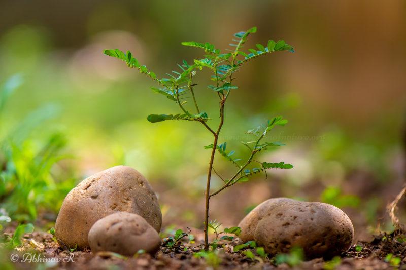 Keezharnelli - Stonebreaker Plant - Phyllanthus niruri