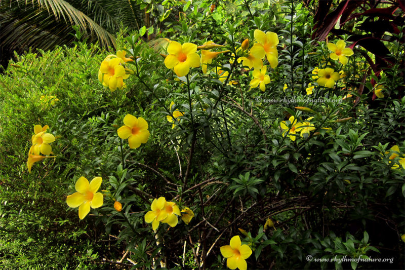 Kolambi Flowers - Golden Trumpet Vine