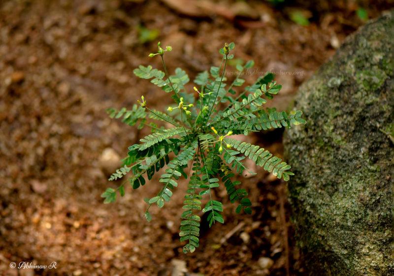 Mukkutti / Small Tree Plant