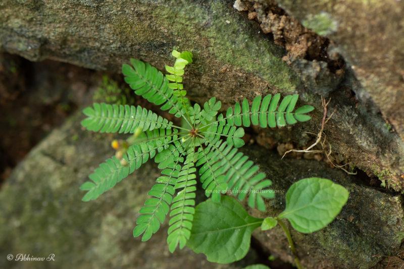 Little Tree Plant - Biophytum sensitivum