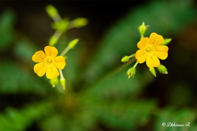 Flowers of Mukkutti - Biophytum sensitivum