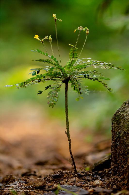 Mukkutti - medicinal plant in Kerala - Biophytum sensitivum