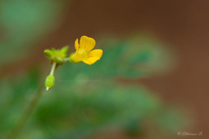 Flowers of Biophytum sensitivum