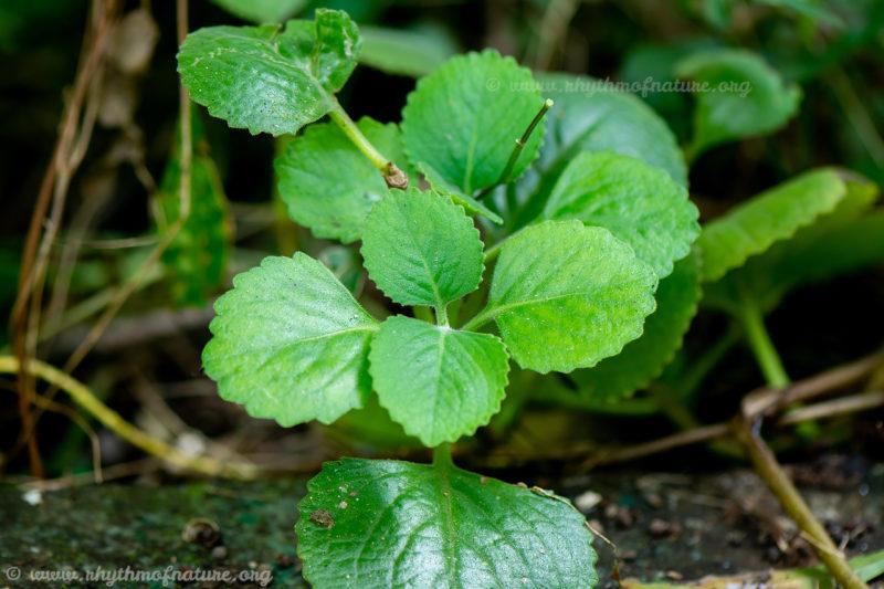 Panikoorka leaves