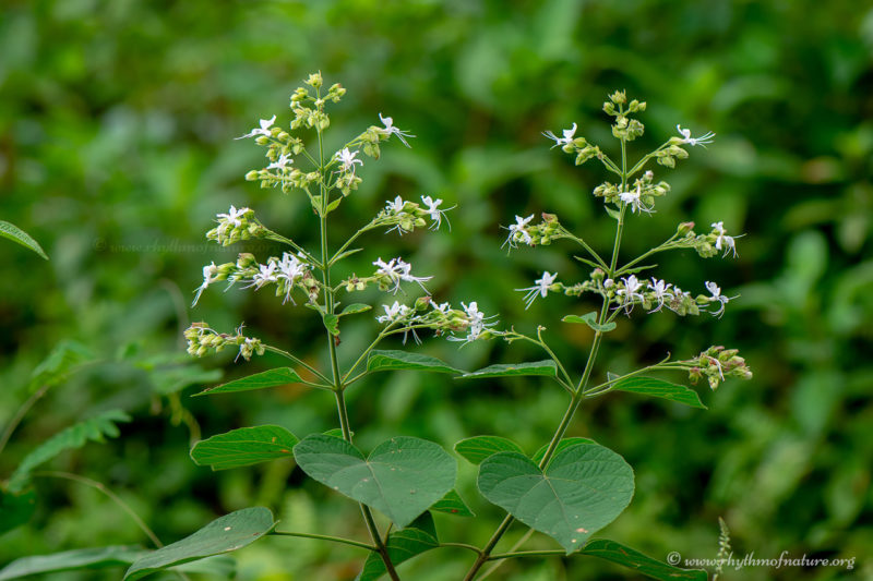 Clerodendrum infortunatum or Hill Glory Bower