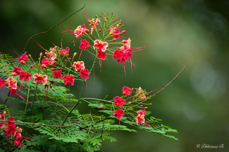 Rajamalli Flower - Caesalpinia pulcherrima