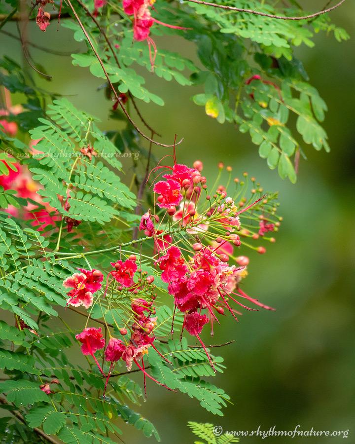 Flowers of Rajamalli - Peacock Flower