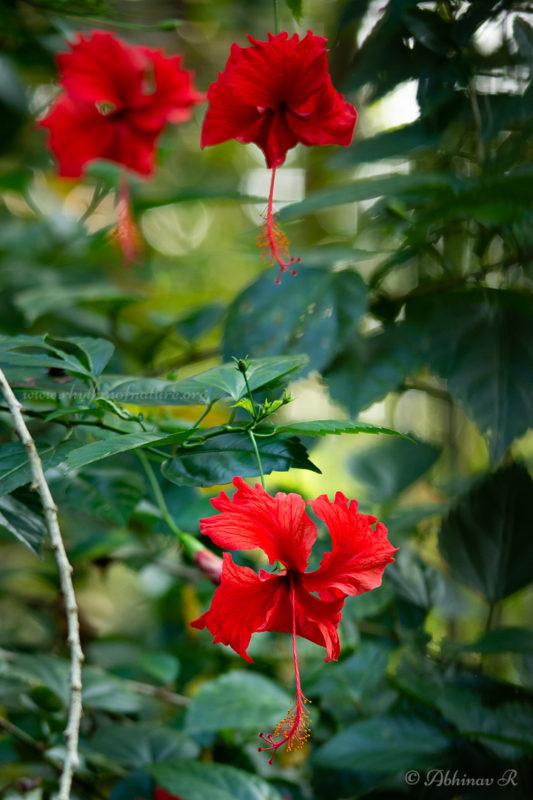 Hibiscus Flower - Hibiscus rosa-sinensis