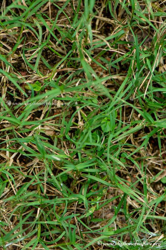 Karuka Pullu - Bermuda Grass - Cynodon dactylon