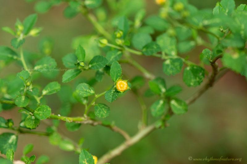 Kurunthotti - Sida rhombifolia