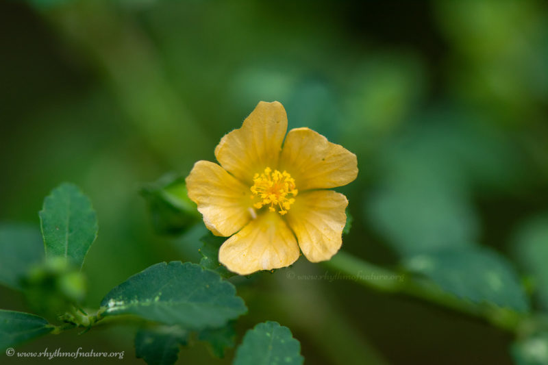 Kurunthotti Flower