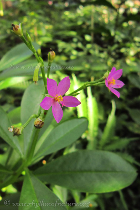 Waterleaf - Ceylon Spinach - Talinum fruticosum - Leafy Vegetable