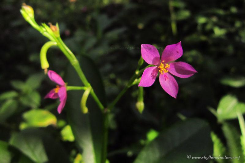 Sambar Cheera - Ceylon Spinach