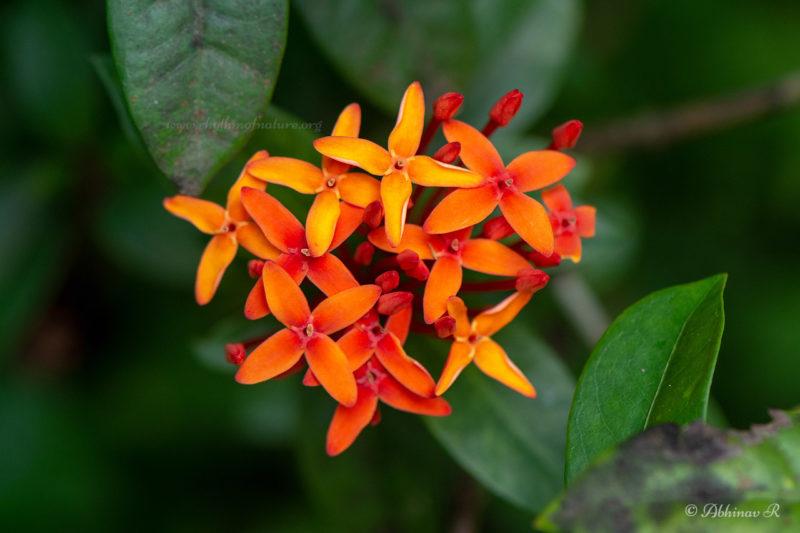 Ixora Flower - Chethi